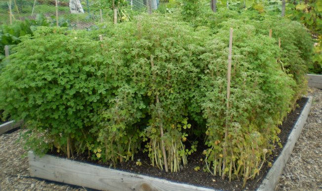 Oca plant