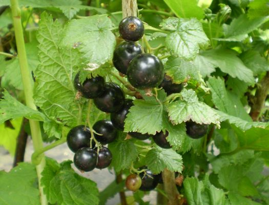 Black currants